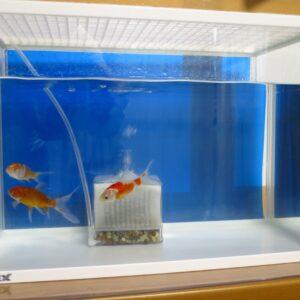 金魚専門店でコメットと朱文金を買う~水槽の白濁りを透明に!